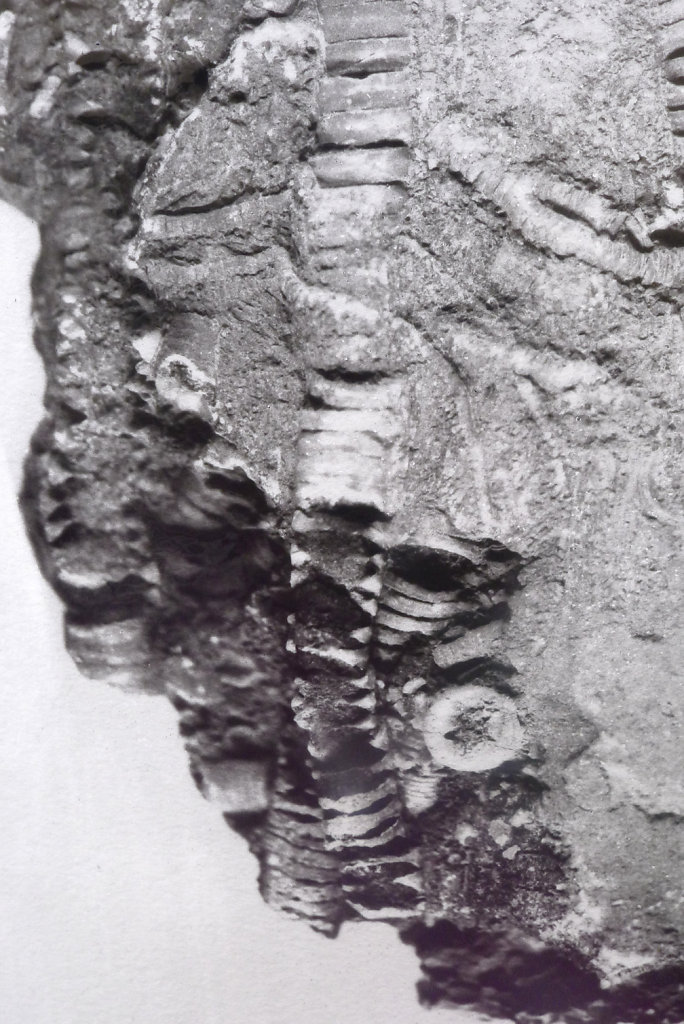 Crinoid fossil (recto - detail), 2015.