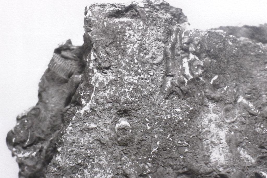 Crinoid fossil (verso - detail), 2015.