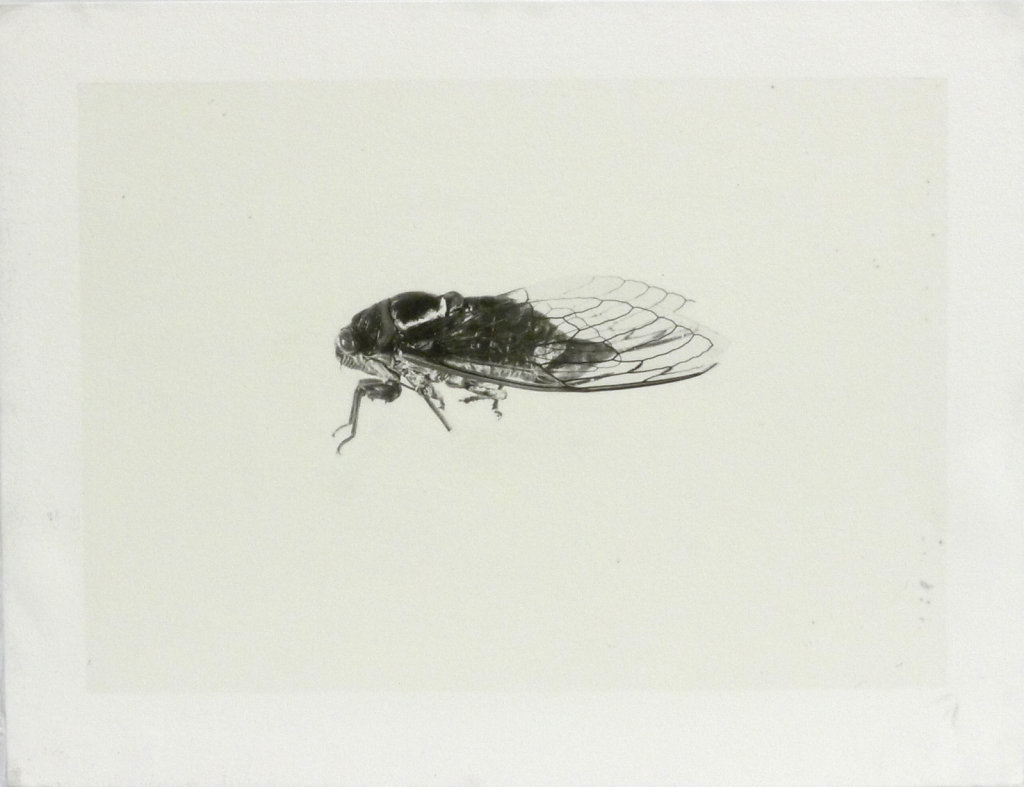 Imago - Cicada (side view), 2016.