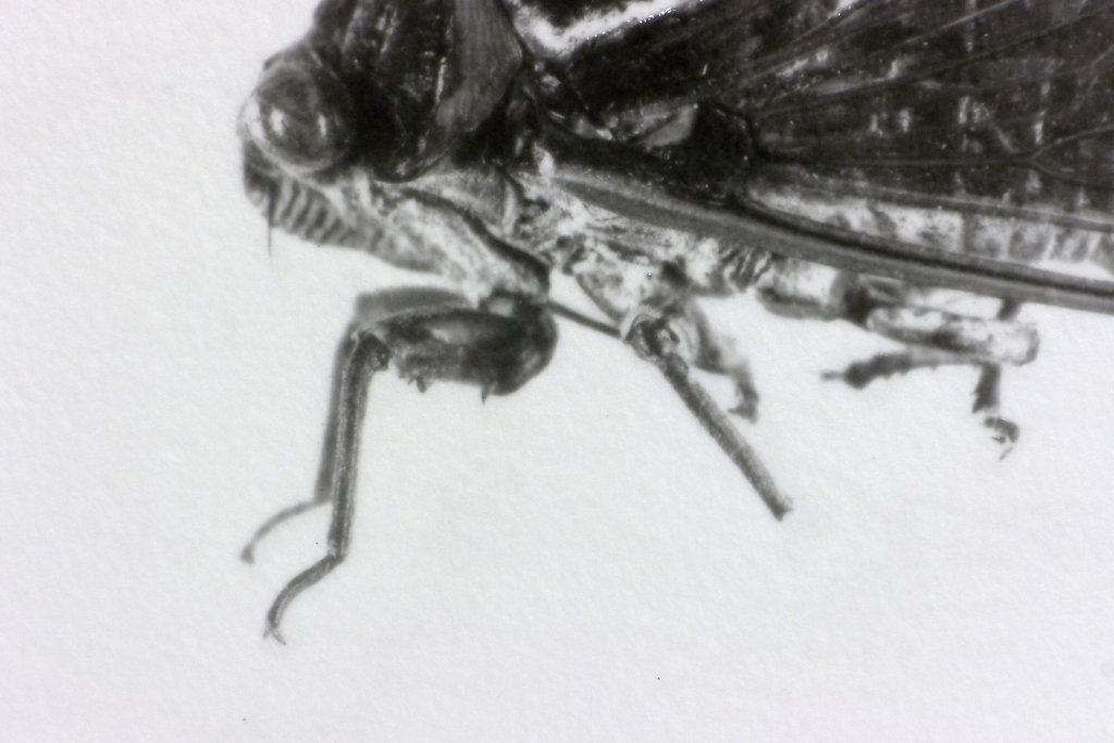 Imago - Cicada (side view - detail), 2016.