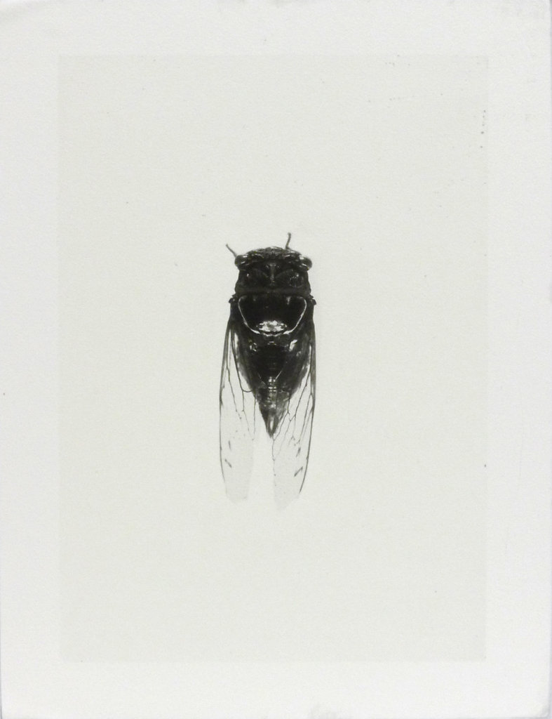 Imago - Cicada (top view), 2016.