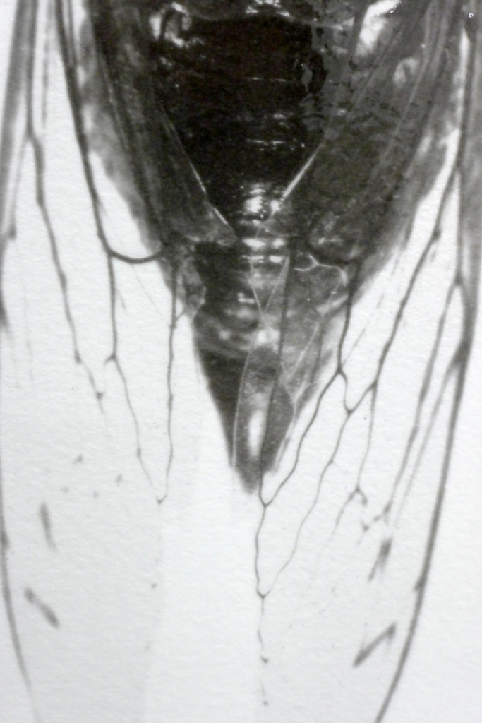 Imago - Cicada (top view - detail), 2016.